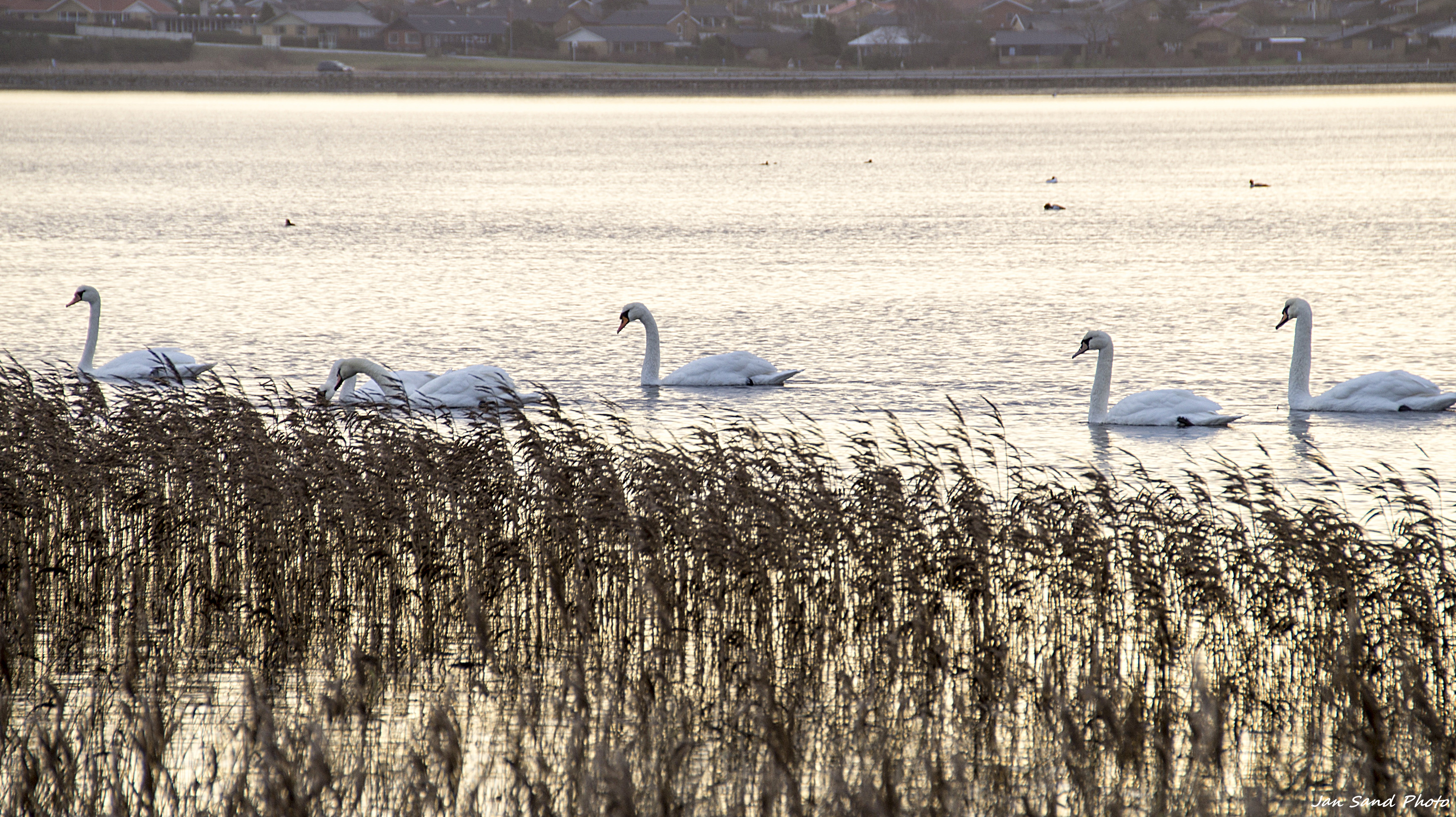 swans-on-the-fjord.jpg